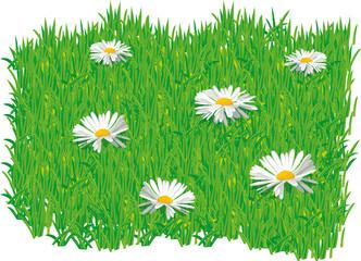 PAQUERETTES - paquerettes sur herbe