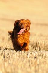 Golden retriever caminando
