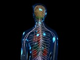 Nervensystem gesamt - loop (PAL) poster