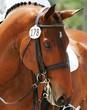 Dressage Horse - 16971541