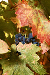 Fall Grape Vine