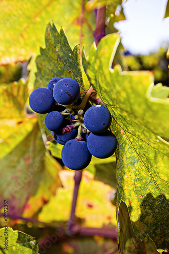 Wine Grape Vine