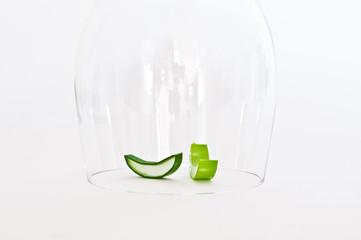 Aloe unter Glas