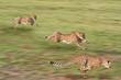 Leinwanddruck Bild - Cheetahs hunting