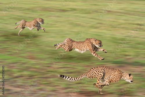Cheetahs hunting - 17004580