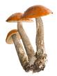 three orange-cap mushrooms