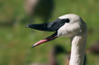Close-up of Trumpeter Swan