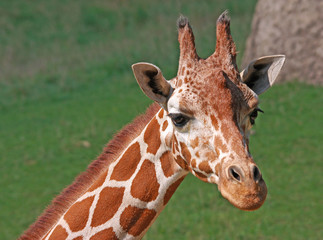 Close-up of Reticulated Giraffe