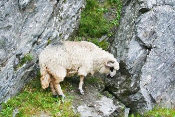 zeckel sheep