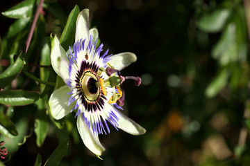 Passionsblume an Hauswand