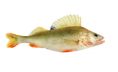 Big perch isolated on white background