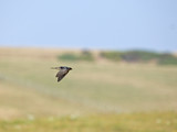 Barn Swallow migrating poster