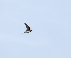 Sand Martin migrating