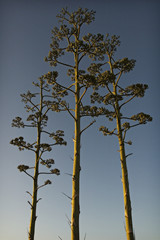 agave's flowers