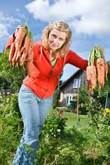 Picking organic carrots