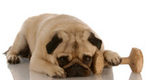 obedience dog - pug laying down beside dumbbell .. poster