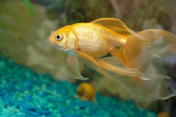 Tropical golden fish