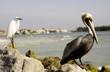 Pelican and egret