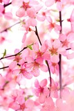 Fototapety Beautiful Pink Flower Blossom on White