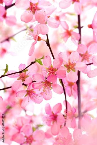 piekny-rozowy-kwiat-okwitniecie-na-bielu