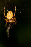 European Garden Spider with prey poster