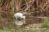 Head in  water - Yellow-billed Spoonbill