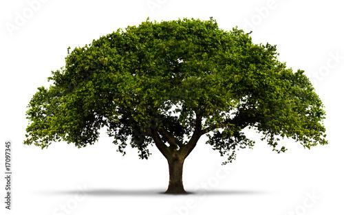 Un arbre avec feuilles vertes isol sur blanc avec ombre photo - Comment entretenir un olivier arbre ...