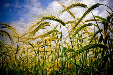Lincolnshire Barley