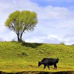 Green landscape with isolated cattle