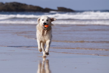 Golden retriever running on beach