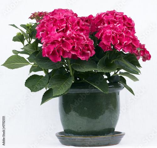 Rote Hortensie im Blumentopf