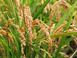 golden rice during autumn season - 17112970