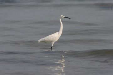 Casmerodius albus / Ardea alba - Great Egret (1)