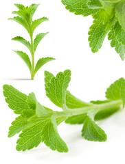 Stevia Rebaudiana Bertoni - édulcorant - sucre naturel