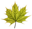 Spring maple leaf isolated on white