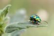 metallic beetle on mint