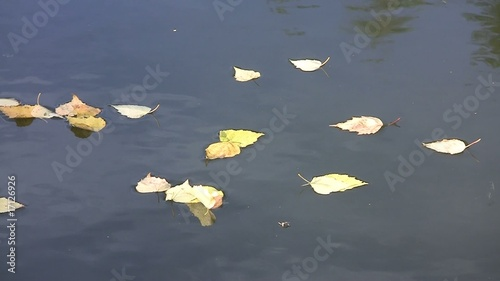 Autumn birch leaves floating across the water surface