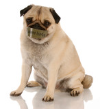 abused dog - pug with mouth taped shut poster