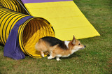 Pembroke Welsh Corgi Leaving Yellow Tunnel at Dog Agility Trial poster