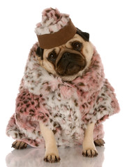 pug wearing leopard print fur coat and hat