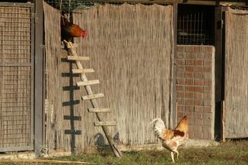 la scala dei galli
