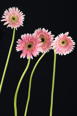 Long stem pink gerbera