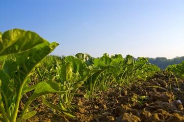Semis de betteraves à sucre