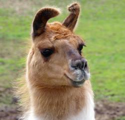 Lop Eared Llama