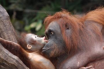 Orang-Utan Mutter mit Kind