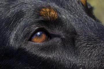 le regard plein de douceur du beauceron-gros plan de l'oeil