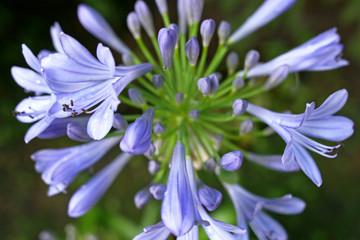 Blüte Blaulilie