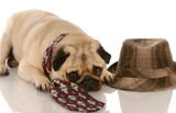 pug wearing mens tie laying beside fedora poster