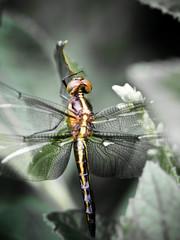 Dragonfly Macro