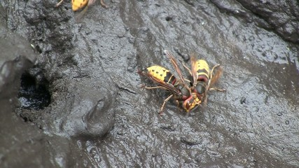 Close-up of buzzing hornets (Hymenoptera, Vespa crabro)